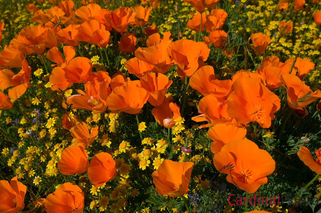 Close-up of Orange California Poppies, California's State Flower, Antelope Valley Poppy Reserve, California