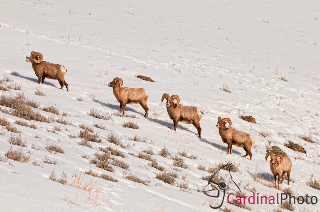 Big-horn Sheep on a snowy hillside in the Lamar Valley of Yellowstone National Park featuring its Wildlife