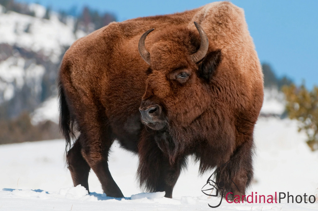 American Bison in Winter, Yellowstone National Park, Wyoming, featuring Male Bison with Full Coats