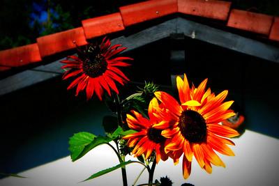 our sun flowers