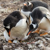 Gentoo penguin pair examine their egg at the Bertha's beach penguin colony, Mare Harbour, Falkland Islands