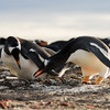 A pair of gentoo penguins check their nest at Bertha's beach, Mare Harbour, Falkland Islands