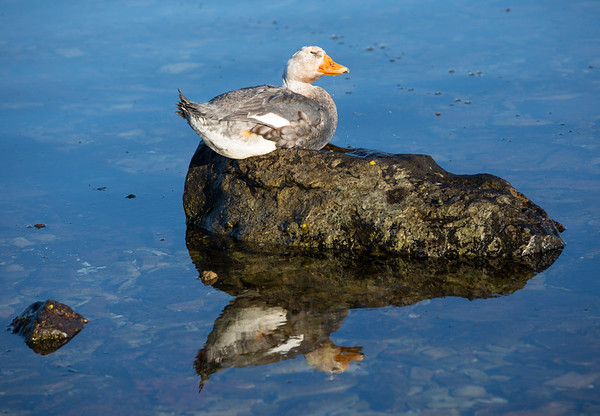 Flightless steamer duck and reflection, Stanley Harbour, Falkland Islands