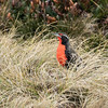 The red breast of a long-tailed meadowlark stands out clearly in the long grass growing at the side of Stanley Harbour, Falkland Islands
