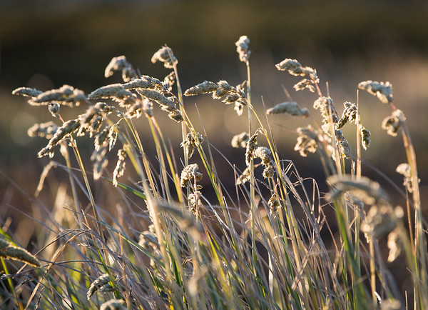 Sunlit grasses, near Stanley, Falkland Islands