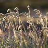 Sunlit grasses, near Stanley, Falkland Islands
