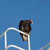 Turkey vulture on ship's rail, Stanley Harbour, Falkland Islands