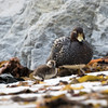 A steamer duck and chick merge into the background of rocks and cast-up kelp on the beach at Surf Bay, near Stanley, Falkland Islands