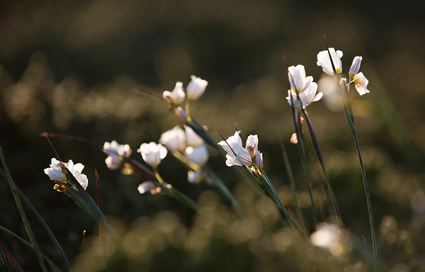The purple veins of pale maiden flowers catch the early morning sunlight near Stanley, Falkland Islands.