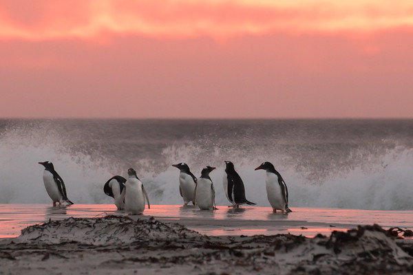 Pre-dawn on Bertha's Beach (Falkland Islands) with Gentoo penguins returning from foraging at sea