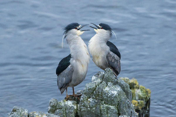 Courting black-crowned night herons at Gypsy Cove, Stanley, Falkland Islands