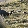 Upland goose and goslings, Stanley Harbour, Falkland Islands