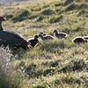 Upland goose and goslings, Stanley Harbour, Falkland Islands