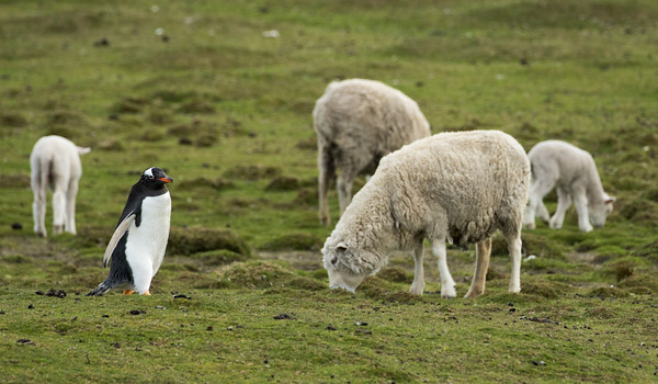 Gentoo penguin walks past grazing sheep to get down to the sea at Bertha's beach, Mare Harbour, Falkland Islands