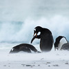 Gentoo penguins weathering the strong breeze and blowing sand on Bertha's beach, Mare Harbour, Falkland Islands