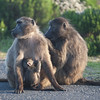Baboon family at the Cape of Good Hope