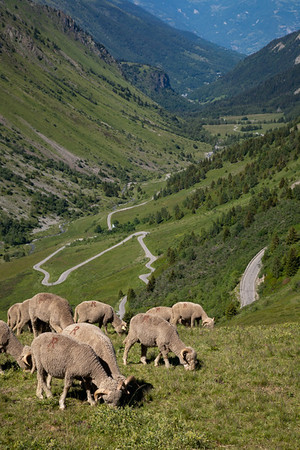 Mountain sheep on the Col