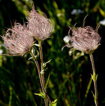 Contre jour seed heads