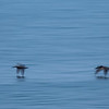 Brown pelicans at dawn