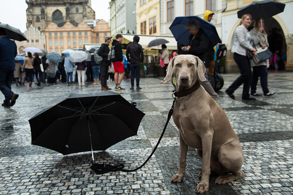 A faithful companion waits patiently in the rain, Old Town Square, Prague