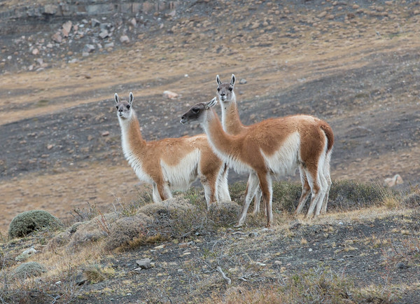 Guanaco watch us watching them, Torres del Paine National Park, Chilean Patagonia