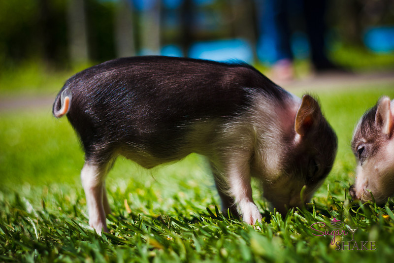"They were really tiny, about the size of kittens, and we were told they were ""micro-mini."" <a href=""http://lmgtfy.com/?q=micro+mini+pigs"">Googling this</a> has revealed that ""micro-mini"" is all relative—they grow to 29-50 lbs. © 2012 Sugar + Shake"
