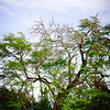 A striking tree located in the Honokahua Preservation Site area. © 2012 Sugar + Shake