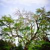 A striking tree located in the Honokahua Preservation Site area. © 2012 Sugar + Shake