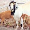 More goat action. © 2012 Sugar + Shake