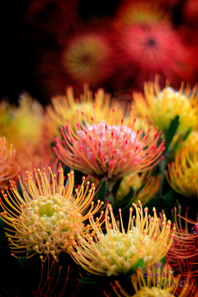 Maui also has a lot of flower farms, especially ones that grow exotic blooms, like these protea. They're like sea anemones! © 2012 Sugar + Shake