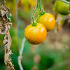 Ho'opono grows tomatoes... © 2013 Sugar + Shake