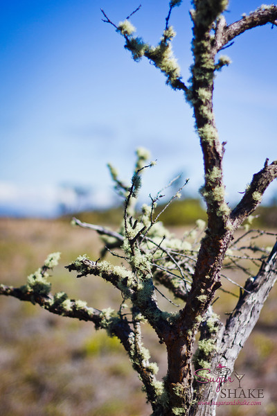 All kinds of life on the volcano. Moss on a tree. © 2012 Sugar + Shake