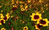 perhaps blanketflower