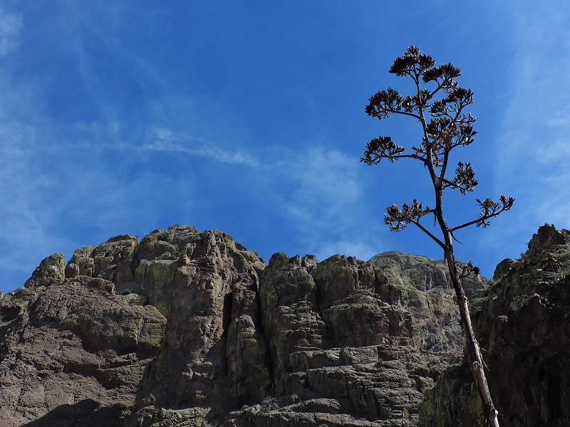 century plant in Organ Mountains Desert Peaks National Monument