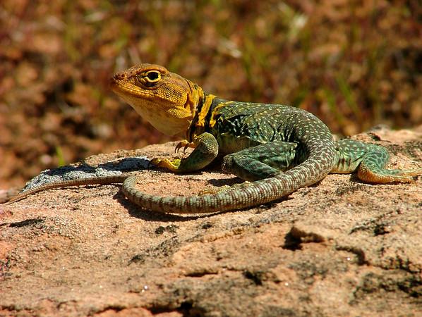 collared lizard in Rattlesnake Canyon, Colorado
