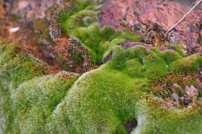 silvery moss on red rock