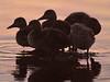 Teenage Ducks at Sunrise, Lake Wellington<br /> <br /> Day Three at Girls Camp