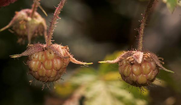 Raspberries that might not ripen