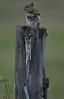 Chipmunk Sentinel