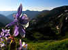 Columbine overlooking the route to Ice Lakes
