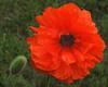 Vail Pass red poppy
