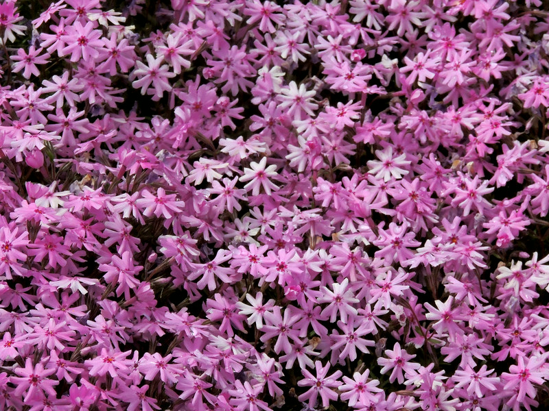 Vail Pass pink phlox