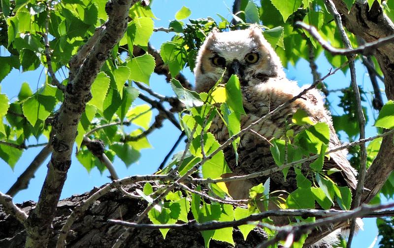 fuzzball owl