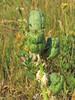 next year's yucca crop