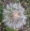 salsify gone to seed