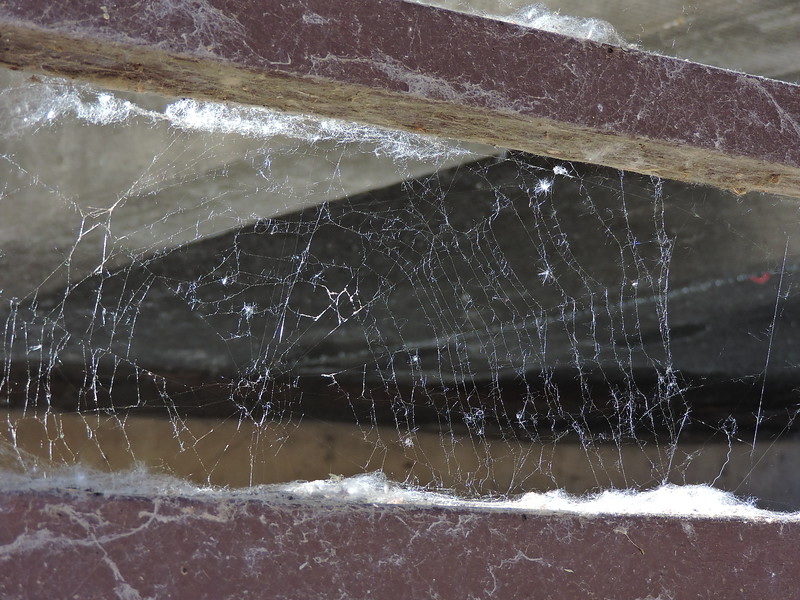cotton-eyed spider web