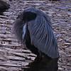 headless heron