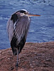 My Heron Friend