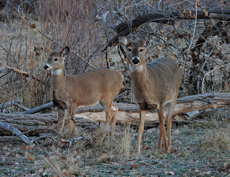 white tails