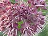 Milkweed reminds me of hoya flowers.